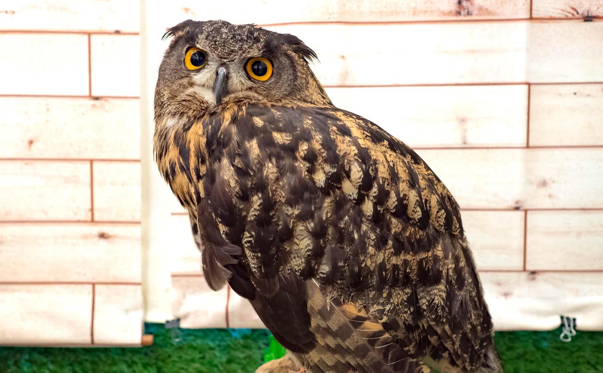 フクロウがリビングにいる暮らし。同居歴5年、魅力と飼い方を徹底解説!