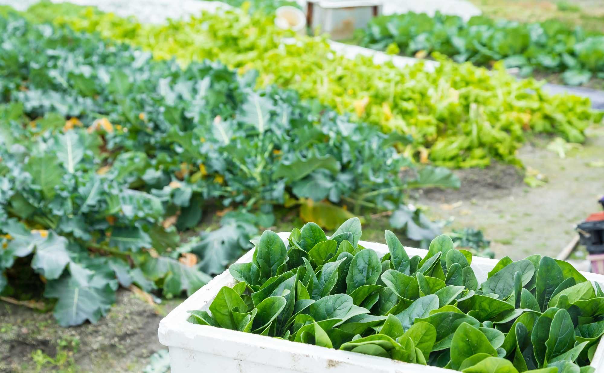 家庭菜園歴9年以上、失敗しやすい冬を乗り切る3つのコツとは?